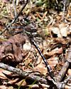Little Notch Dragon - Didymops transversa - male