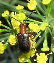 Leaf Beetle - Oulema variabilis
