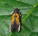 Linnaeus's Spangle-wing  - Chrysoclista linneella