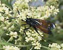 Pepsis wasp? - Pepsis mildei - male