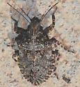 Brochymena - Brochymena sulcata