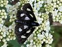 Is this a male Six-spotted Forester moth? - Alypia langtoni