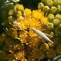 pale skinny insect with long legs and antennae - Oecanthus - female