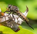 Efferia sp.? - Efferia aestuans - female