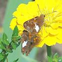 Silver-spotted Skipper - Epargyreus clarus - male - female