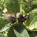 Laphria janus maybe - Laphria