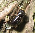 Beetle on bark - Euwallacea validus