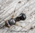 Ulidiidae - Euxesta - male