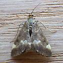 Pyrausta nicalis (Pyrausta nicalis)  - Pyrausta nicalis