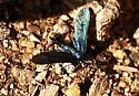 Small iridescent moth - Harrisina metallica