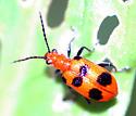 spotted beetle  - Neolema sexpunctata