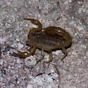 Scorpion - Paravaejovis spinigerus