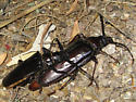 Palo Verde Root Borers mating - Derobrachus hovorei - male - female