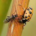 Lady Beetle and Wasp - Hippodamia tredecimpunctata