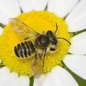 Megachile albitarsis ? - Megachile mendica