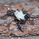 Pacific Forest Scorpion female with young - Uroctonus mordax - female