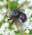Juriniopsis - Archytas metallicus - female