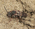 Small Wasp/Bee? - Epeolus scutellaris