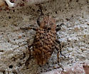 beetle - Thecesternus affinis