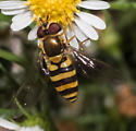 Yellow-collared hover fly - Syrphus