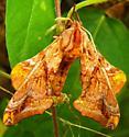 Large moth ? - Paonias myops