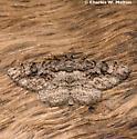 Moth - Anavitrinella atristrigaria - male
