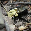 Big bumblebee - Bombus impatiens - female