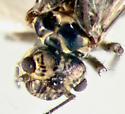 Psocidae, head & thorax - Hyalopsocus striatus