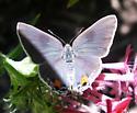 blue butterfly - Strymon melinus - female