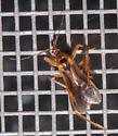Unknown bug - Oncerotrachelus acuminatus