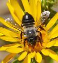 Melissodes??? - Megachile