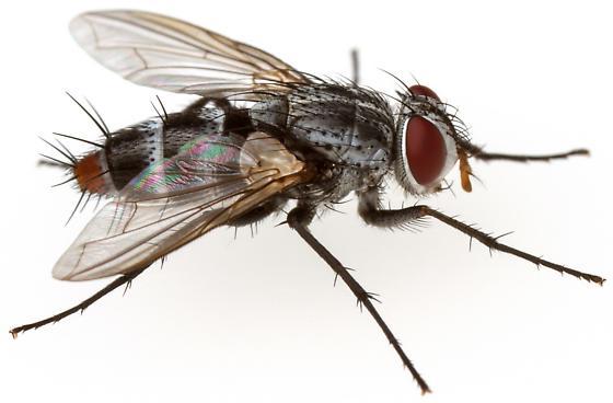 Tachinidae - Zelia