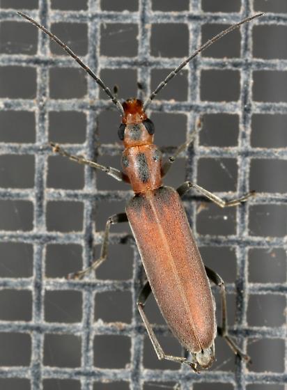 Blister Beetle - Oxacis trimaculata