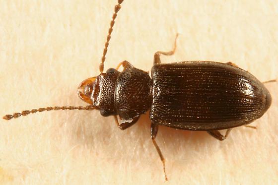Lined Flat Bark Beetle - Charaphloeus convexulus - female