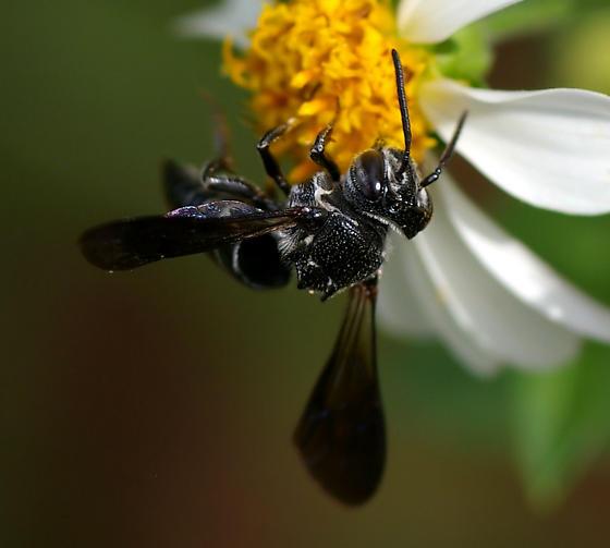 Bee - Coelioxys dolichos - female