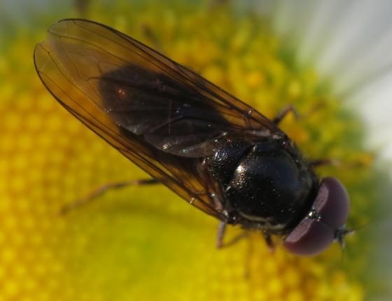 Fly 4 (Timothy Lake) - Cheilosia - male