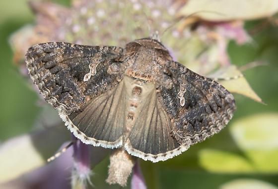 Moth - Trichoplusia ni