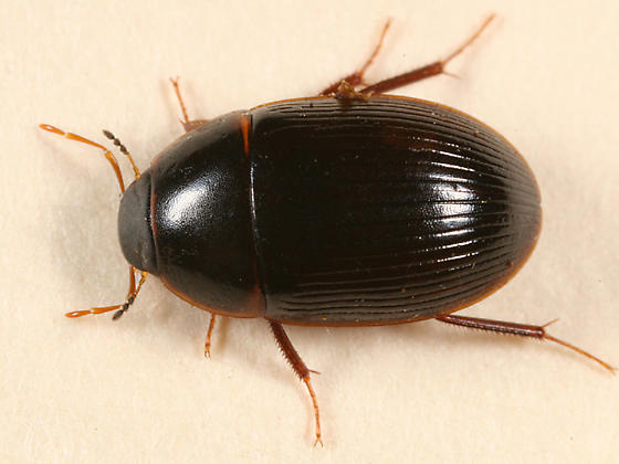 water beetle - Helocombus bifidus