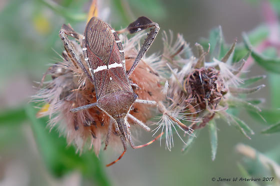Kissing Bug species? - Leptoglossus phyllopus