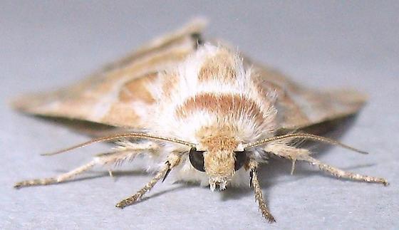 Acute-lined Flower Moth - Schinia acutilinea