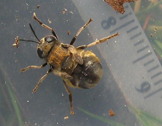 Microdon sp., family Syrphidae - Microdon
