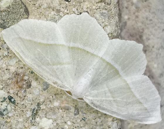 Geometridae - Campaea perlata