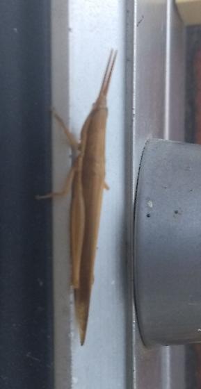Some kind of stick? - Leptysma marginicollis