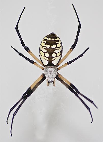 What kind of spider is this? - Argiope aurantia