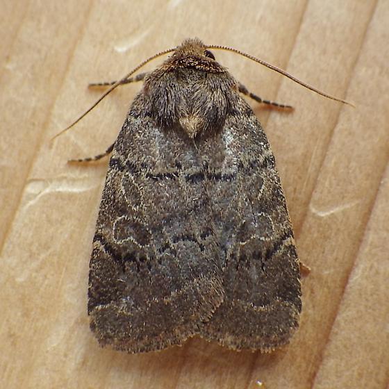 Noctuidae: Orthodes cynica - Orthodes cynica