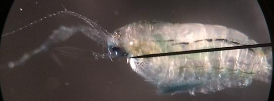 Planktonic marine copepod