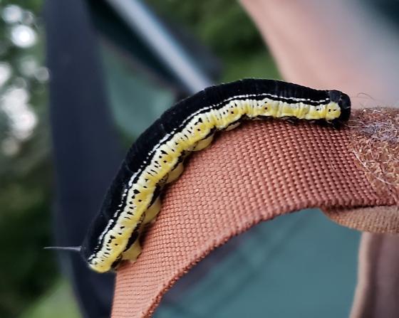 Black caterpillar - Ceratomia catalpae