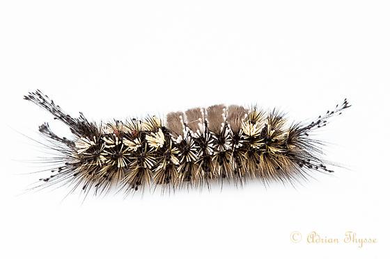 Dasychira grisefacta caterpillar? - Dasychira grisefacta