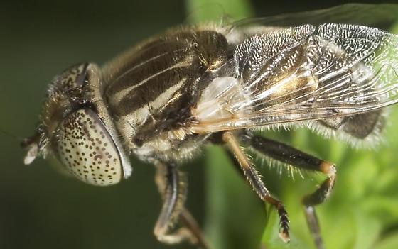 New Fly - Eristalinus aeneus - female
