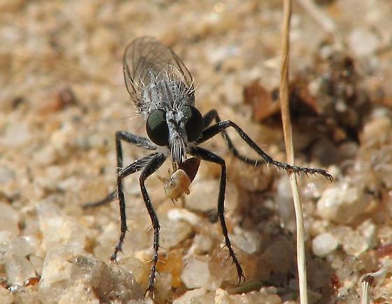 small Robber Fly - Lestomyia
